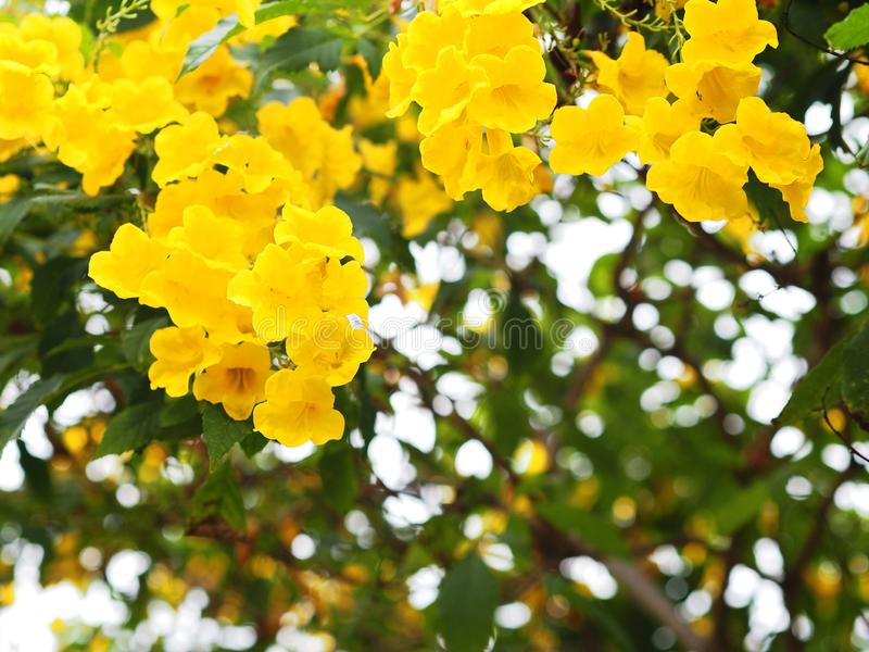 Yellow elder or Trumpetbush flowers. Close up Yellow elder or Trumpetbush flowers and green leaves for natural background royalty free stock photo