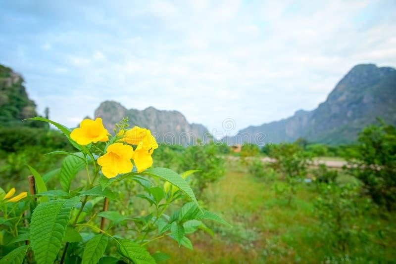 Yellow elder, Trumpetbush,. Trumpet flower stock photo