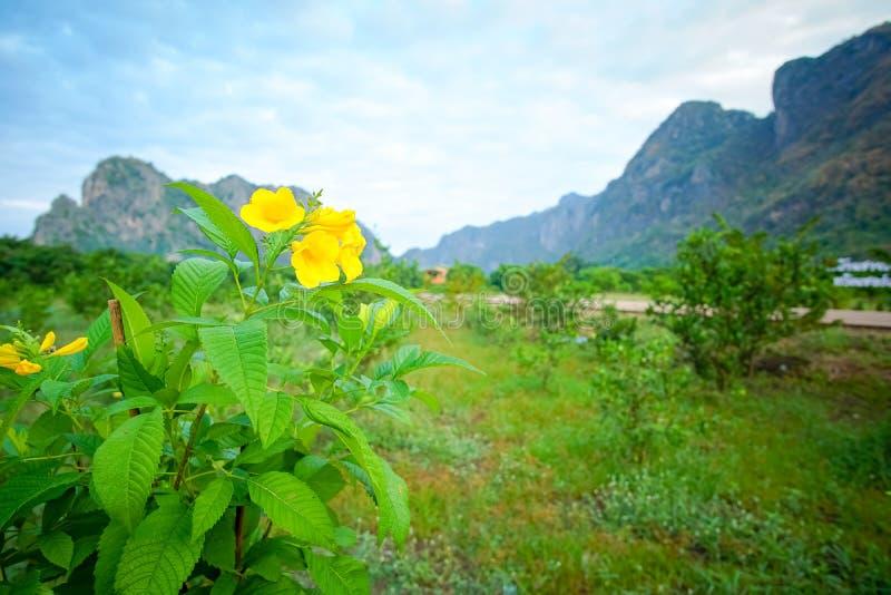 Yellow elder, Trumpetbush,. Trumpet flower royalty free stock image