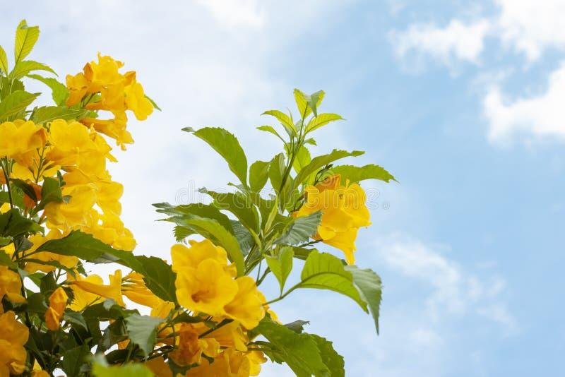 Yellow elder, Trumpetbush, Trumpetflower on sky background. Yellow elder, Trumpetbush, Trumpetflower on bright sky background stock image