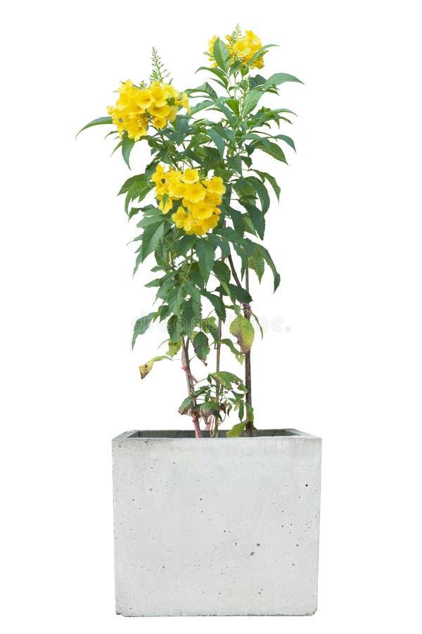 Yellow elder, Trumpetbush, Trumpetflower in cement pot isolated on white background. Yellow elder, Trumpetbush, Trumpetflower in cement pot isolated on white royalty free stock photos