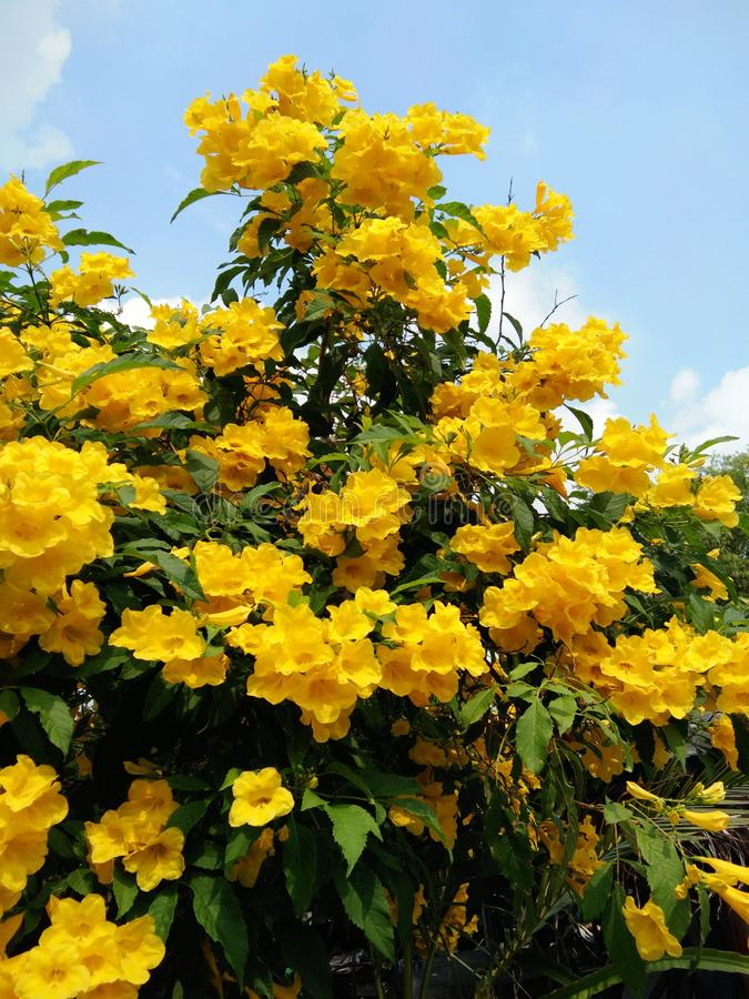 Yellow elder or Trumpetbush or Trumpetflower. Closeup Yellow elder or Trumpetbush or Trumpetflower or Yellow Trumpet-flower or Yellow trumpetbush up to blue sky stock photo