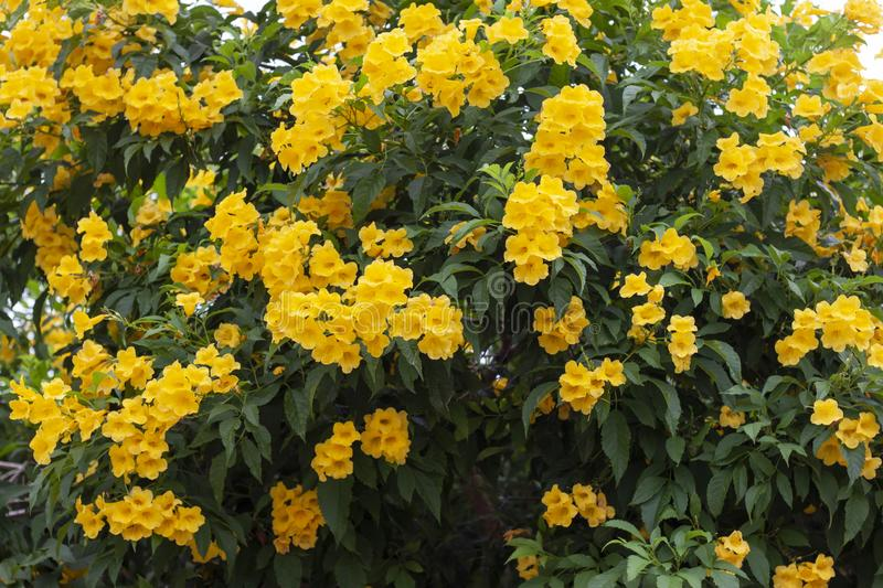Yellow elder, Trumpetbush, Trumpetflower full bloom early. Yellow elder, Trumpetbush, Trumpetflower full bloom early for background royalty free stock photo