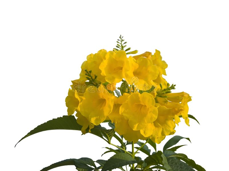 Yellow elder, Trumpetbush, Trumpetflower isolated on white background. Yellow elder, Trumpetbush, Trumpetflower isolated on white background with clipping path stock photos
