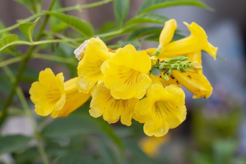 Yellow elder, Trumpetbush, Trumpetflower on nature background. Yellow elder, Trumpetbush, Trumpetflower on blur nature background royalty free stock photo