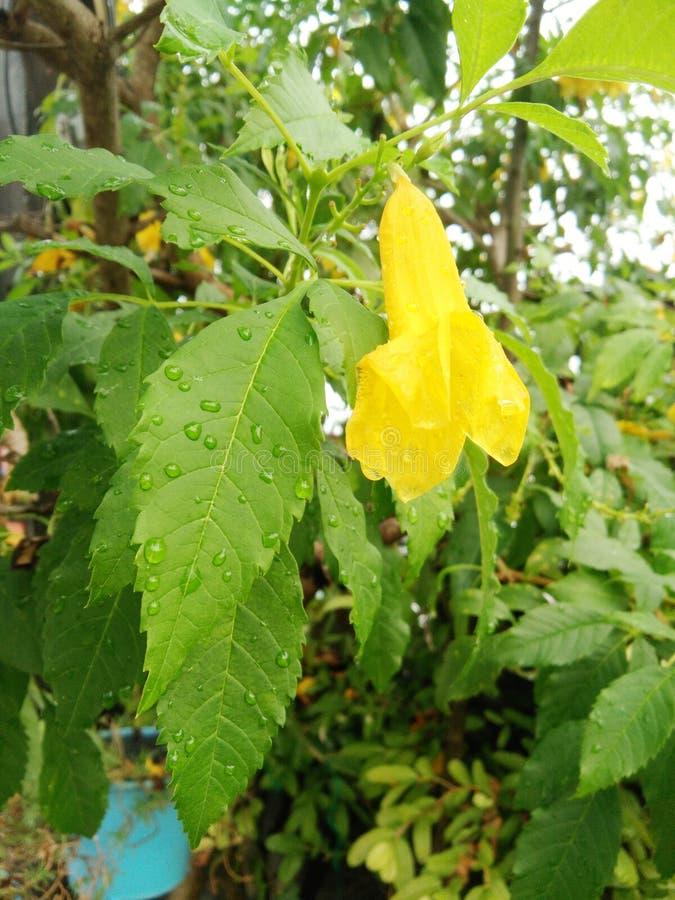 Yellow elder or Trumpetbush or Trumpetflower or Yellow Trumpet-flower or Yellow trumpetbush with water drops. Closeup Yellow elder or Trumpetbush or stock photo