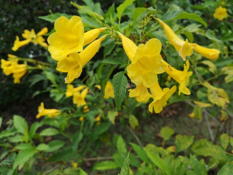 Yellow elder, Trumpetbush, Trumpetflower, Yellow trumpet-flower, Yellow trumpetbush. Yellow elder trumpetbush trumpetflower trumpet-flower royalty free stock photos