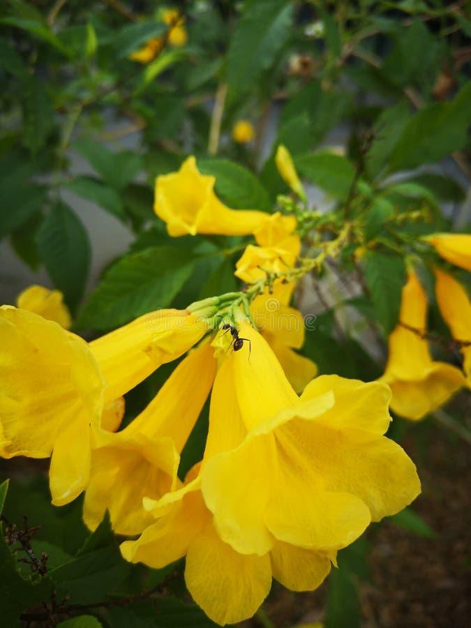 Yellow elder, Trumpetbush, Trumpetflower, Yellow trumpet-flower, Yellow trumpetbush. Yellow elder trumpetbush trumpetflower trumpet-flower stock images