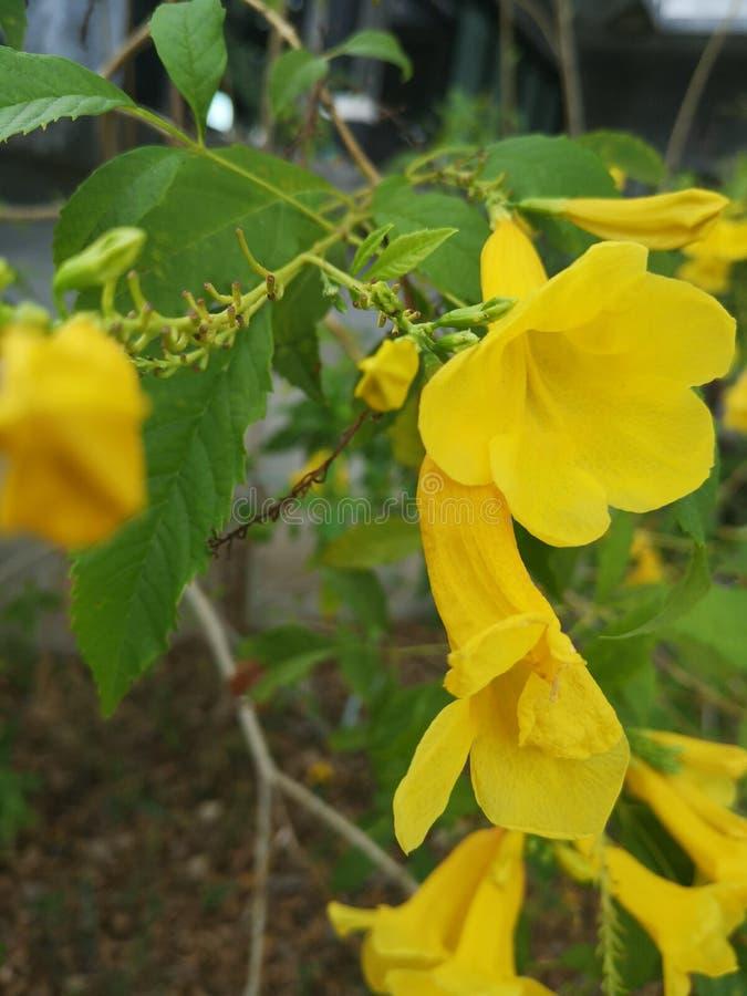 Yellow elder, Trumpetbush, Trumpetflower, Yellow trumpet-flower, Yellow trumpetbush. Yellow elder trumpetbush trumpetflower trumpet-flower stock photography