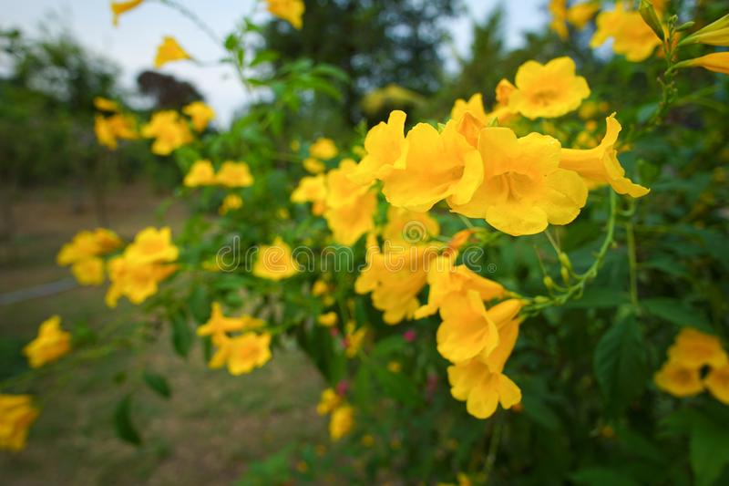 Yellow elder, Trumpetbush,. Trumpet flower stock photos