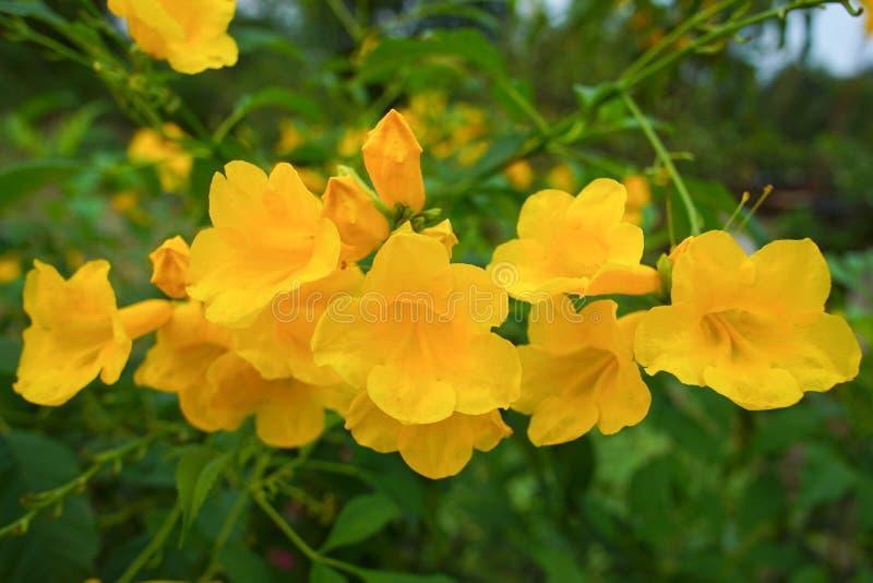 Yellow elder, Trumpetbush,. Trumpet flower royalty free stock images
