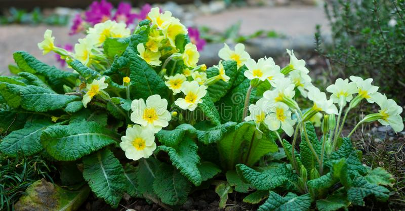 Yellow English Primroses, Primula Vulgaris on a flower bed royalty free stock photo