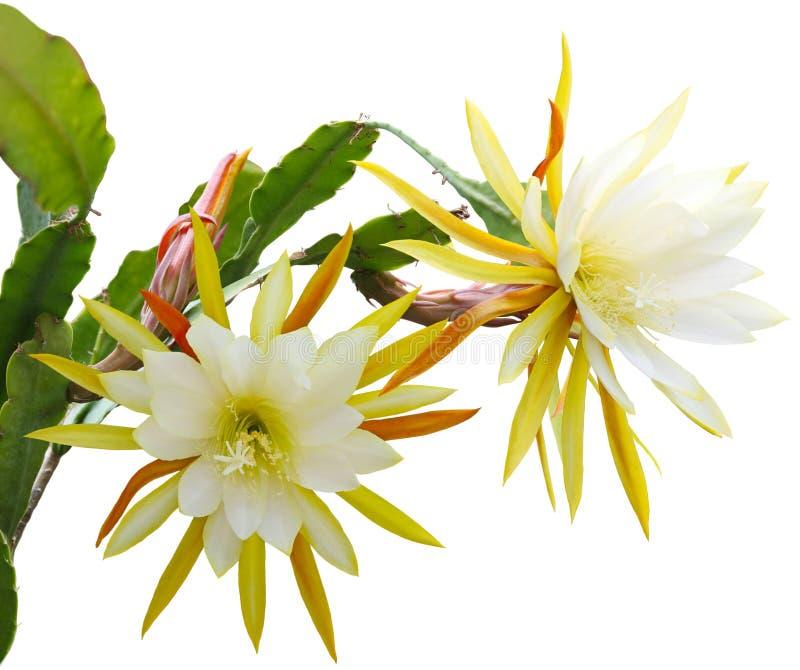 Download Yellow epiphyllum Flower stock image. Image of green - 33564627