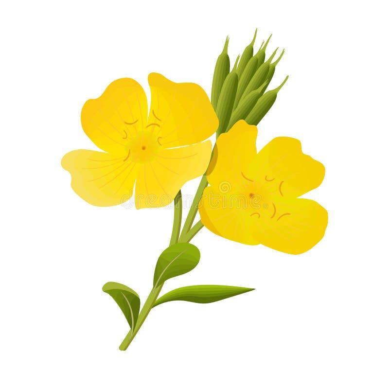 Yellow evening primrose sundrop suncup or oenothera fruticose download yellow evening primrose sundrop suncup or oenothera fruticose flower and leaf stock vector mightylinksfo
