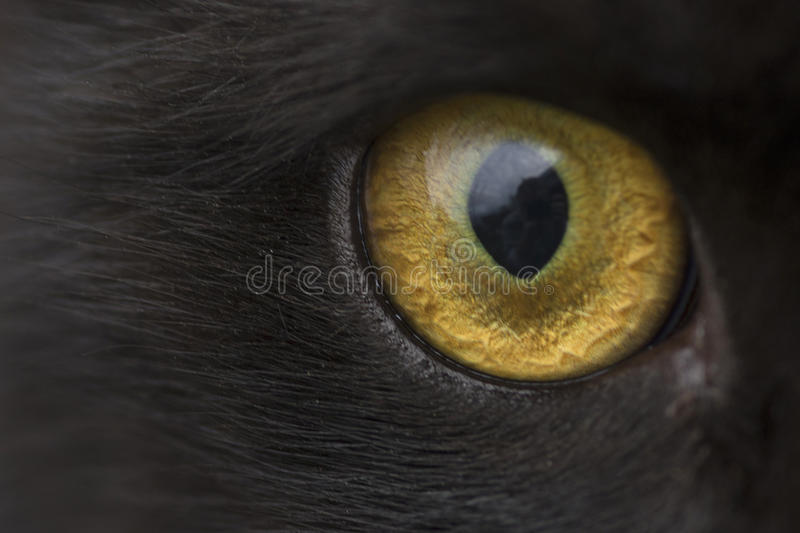 Download Yellow eye cat close up stock image. Image of nobly, predator - 92900093