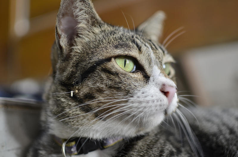 Yellow eye of cat. (Cat in thailand) stock photo