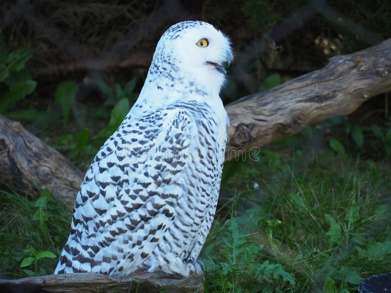 Yellow Eye'd Laughing Snowy Owl royalty free stock photo