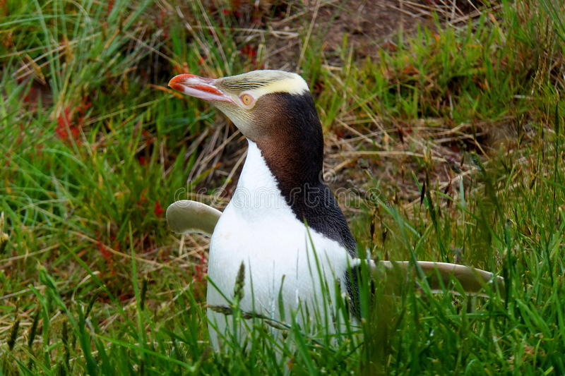 Yellow-eyed penguin. In long grass royalty free stock photography