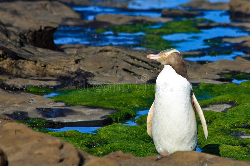 Yellow Eyed Penguin Profile. Yellow eyed Penguin looking aside on the beach at Curio Bay, New Zealand South Island stock photo