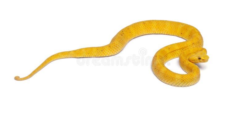 Yellow Eyelash Viper - Bothriechis schlegelii, poisonous. White background stock images