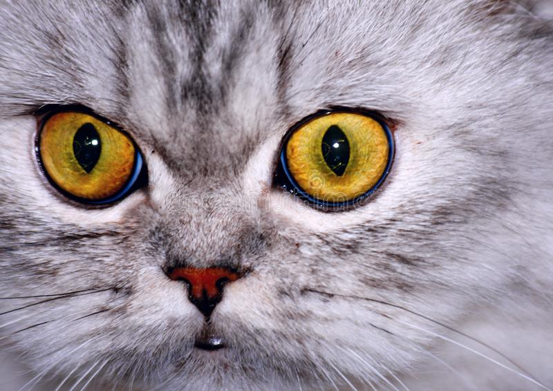 Yellow Eyes Stock Image