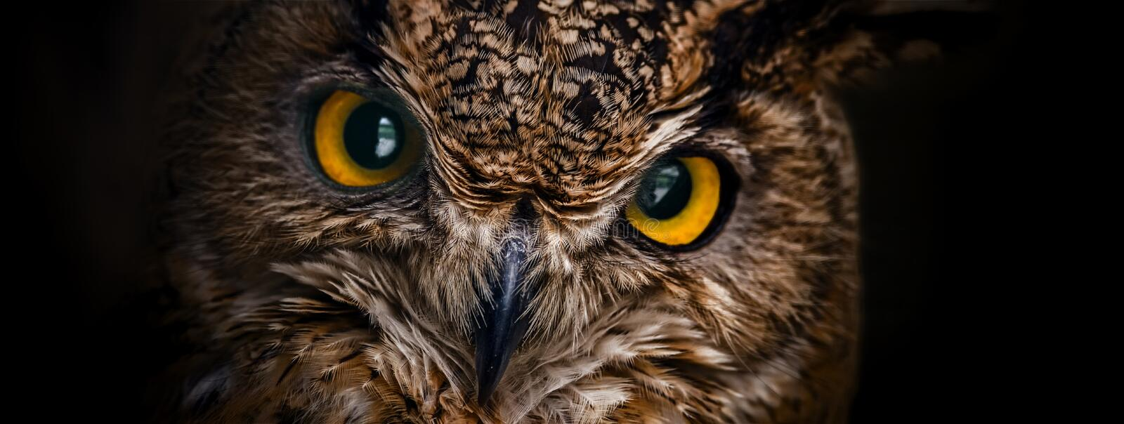 Yellow eyes of horned owl close up on a dark background stock images