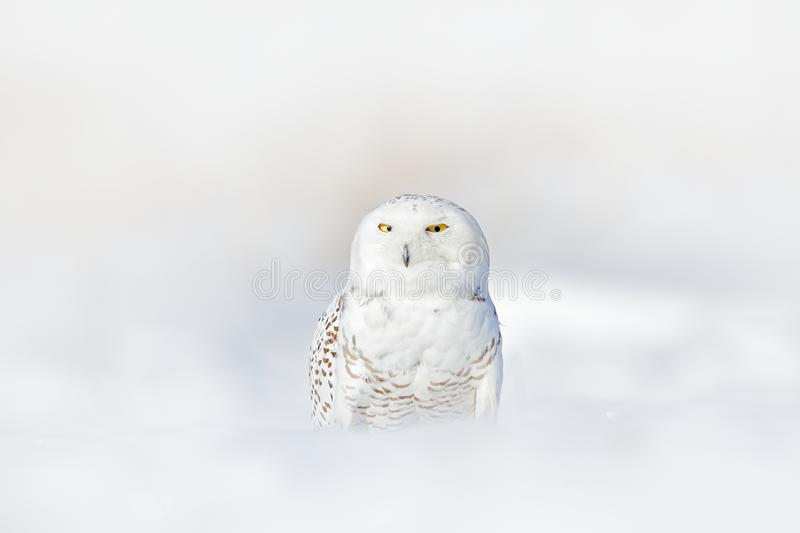 Yellow eyes in white plumage feathers. Snowy owl, Nyctea scandiaca, rare bird sitting on snow, winter with snowflakes in wild Finl. And, Europe royalty free stock photo