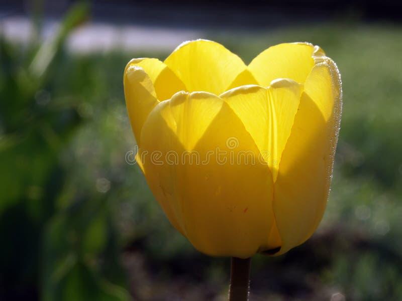 Download Yellow för 01 tulpan arkivfoto. Bild av profil, brigham - 42676