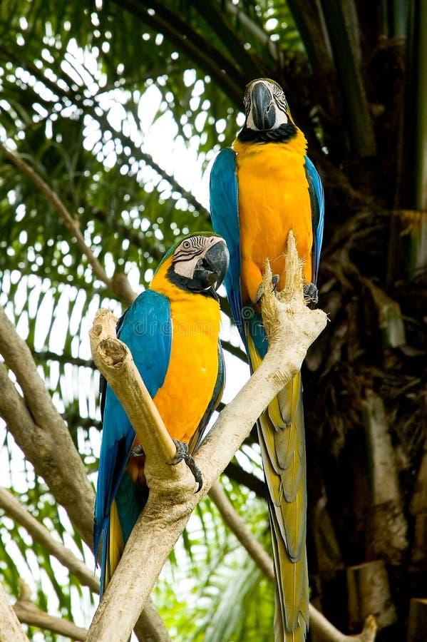 yellow för 2 papegojor arkivfoto