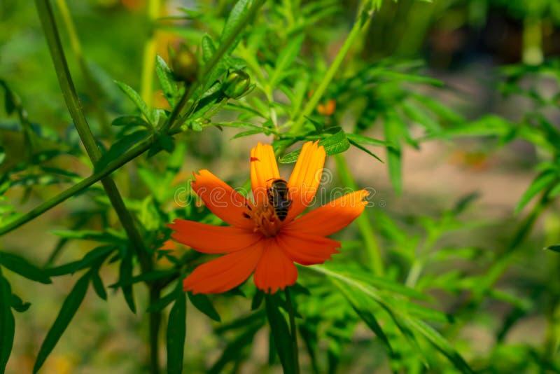 yellow för biblommahonung Ögonblicket tar honungbiet nektar från blomman arkivfoton