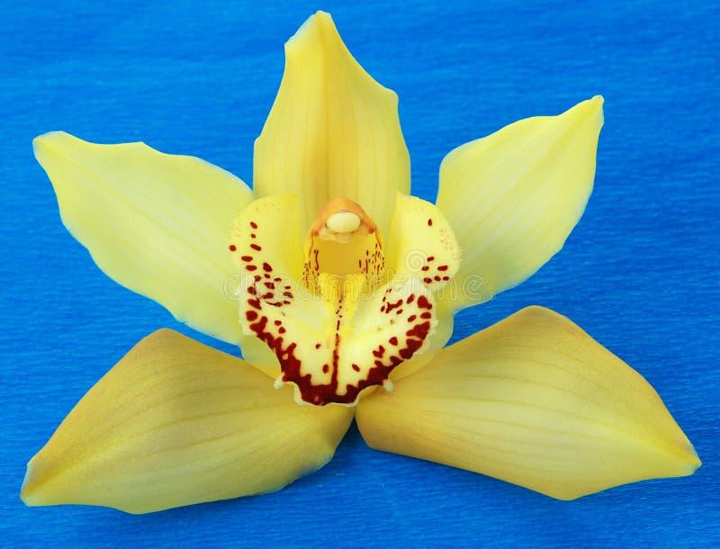 yellow för blå orchid arkivbild