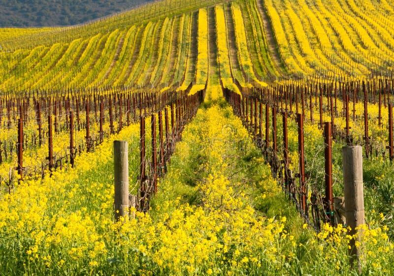 yellow för blomKalifornien senapsgultt napa arkivfoto