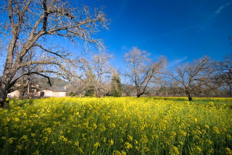 yellow för blomKalifornien senapsgultt sonoma royaltyfri bild