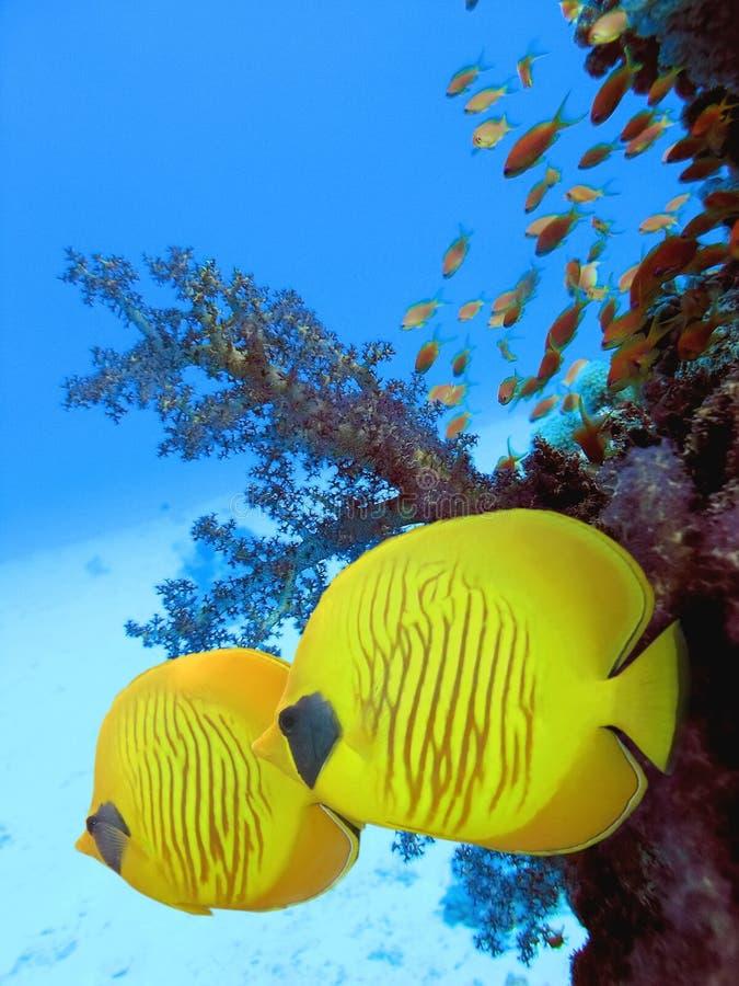 yellow för bluecheekbutterflyfish två royaltyfria bilder