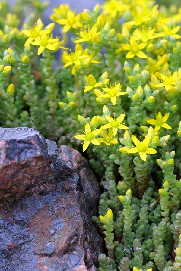yellow för fetknopp för tunnlandgoldmosssedum arkivbild