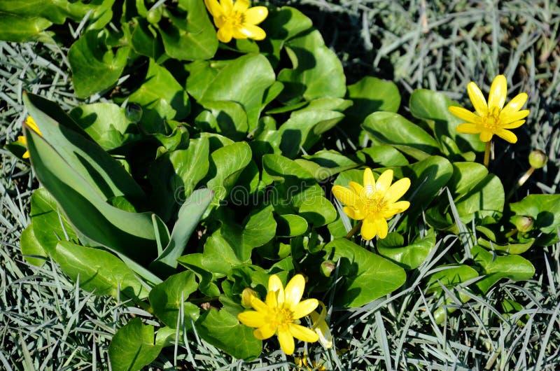 yellow för fjäder för dof-blomma grund royaltyfri foto