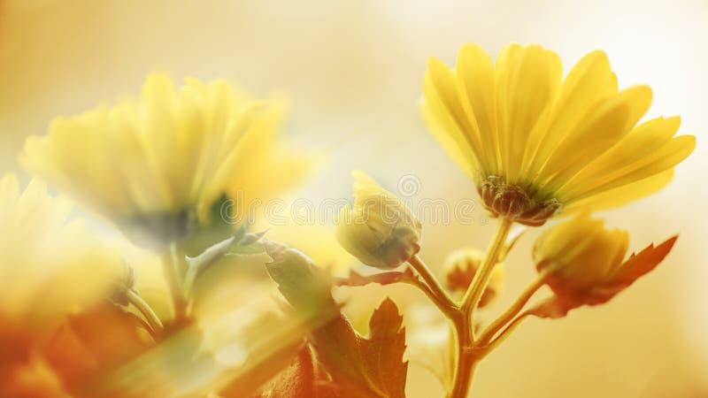 yellow för fjäder för äng för bakgrundsmaskrosor full royaltyfri fotografi