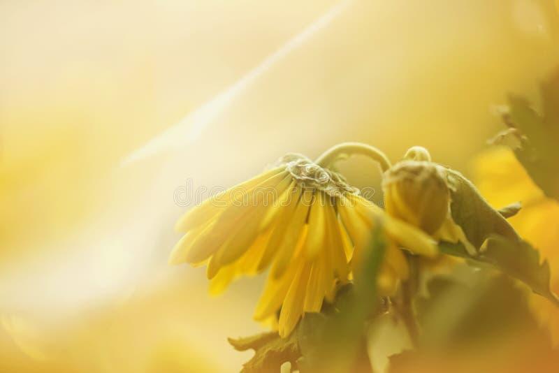 yellow för fjäder för äng för bakgrundsmaskrosor full royaltyfri bild