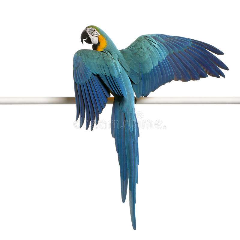 yellow för macaw för araararauna blå