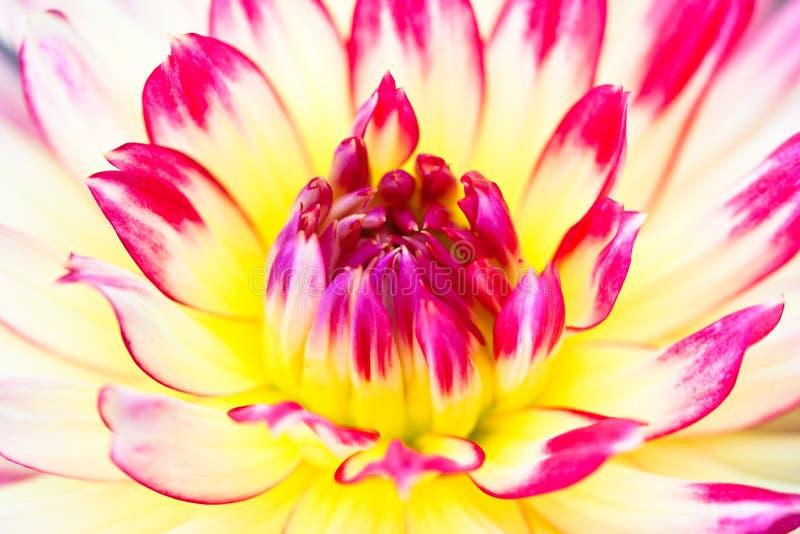 yellow för sikt för pink för dahliablommamakro arkivbilder