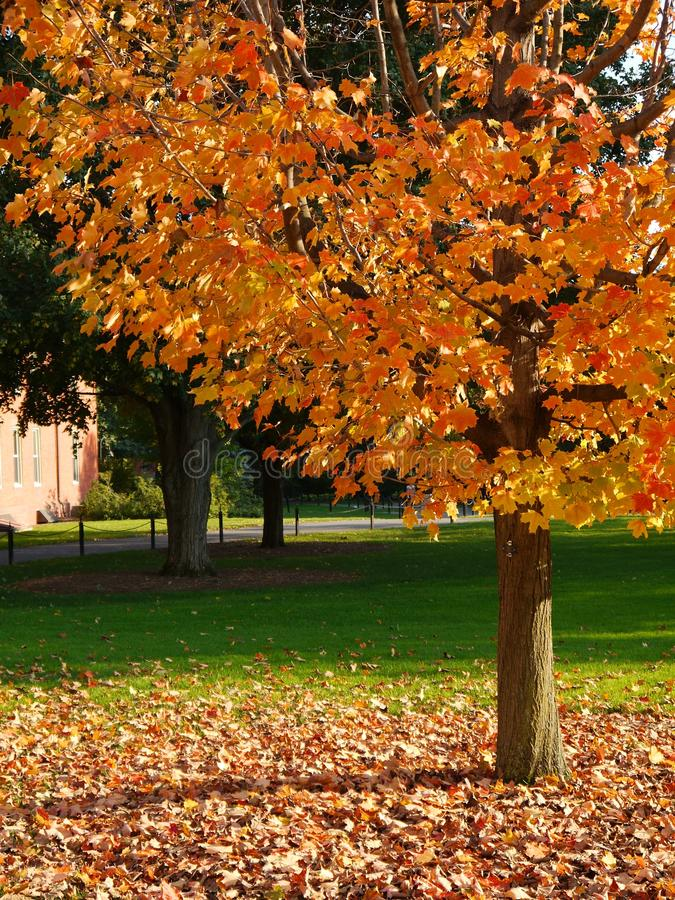 yellow för tree för grön lawn för fall sunlit royaltyfria bilder