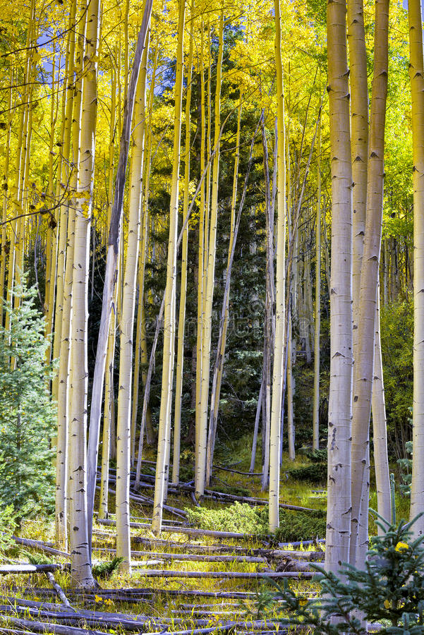 yellow för trees för sun för asp- höstskog skinande royaltyfria bilder