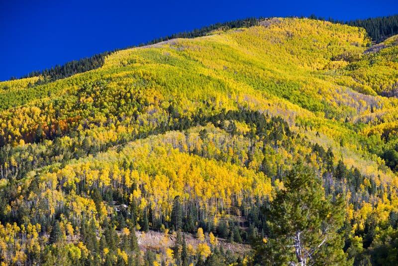 yellow för trees för sun för asp- höstskog skinande arkivbilder