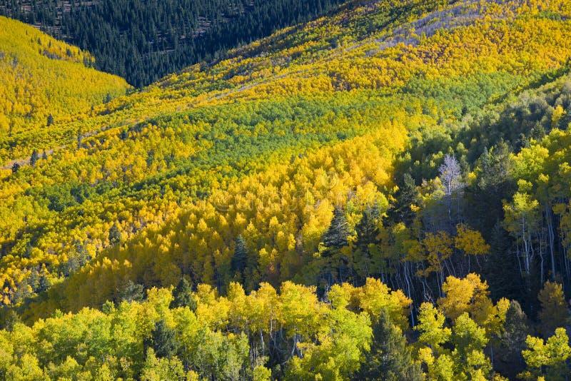 yellow för trees för sun för asp- höstskog skinande arkivfoto