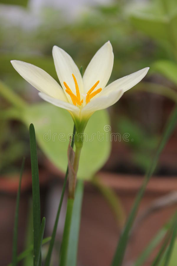 Yellow Fairy Lily. stock photography
