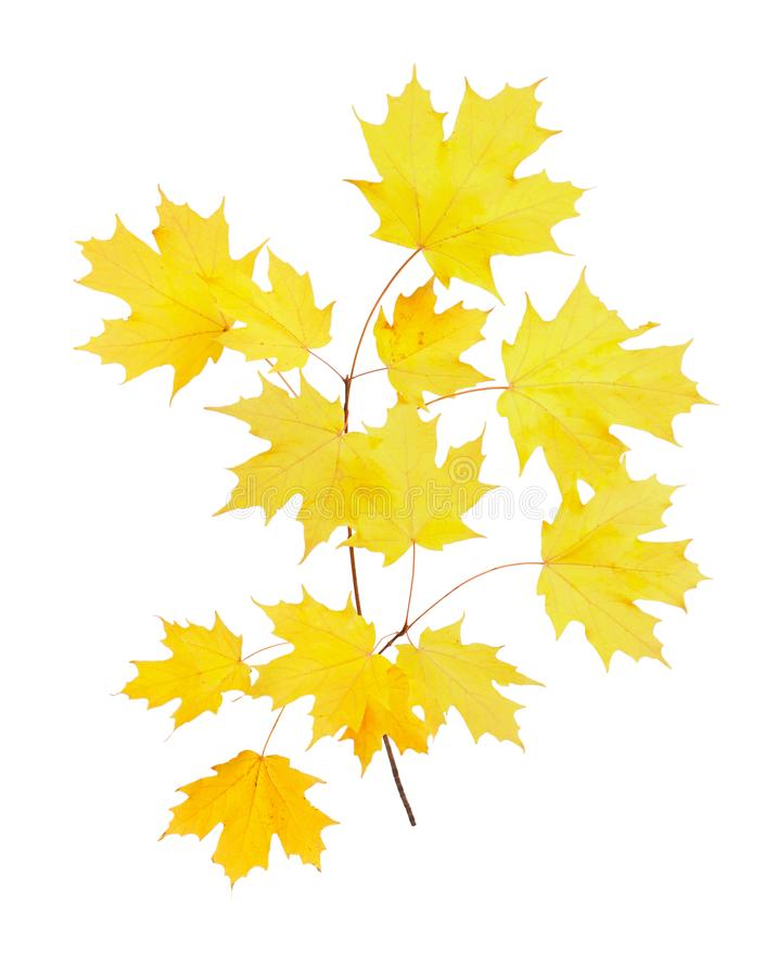 Free Yellow Fall Leaves Of A Sugar Maple Stock Image - 102449821