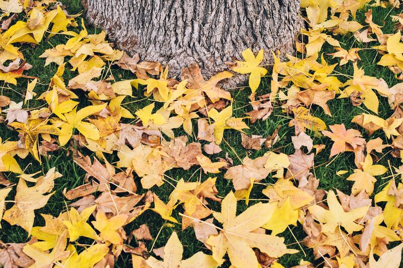 Yellow Fall Leaves Surround the Trunk of a Tree - On Green Grass - Autumn - Seasons. Beautiful scene of leaves in Fall - Yellow leaves on green grass with a tree royalty free stock photos