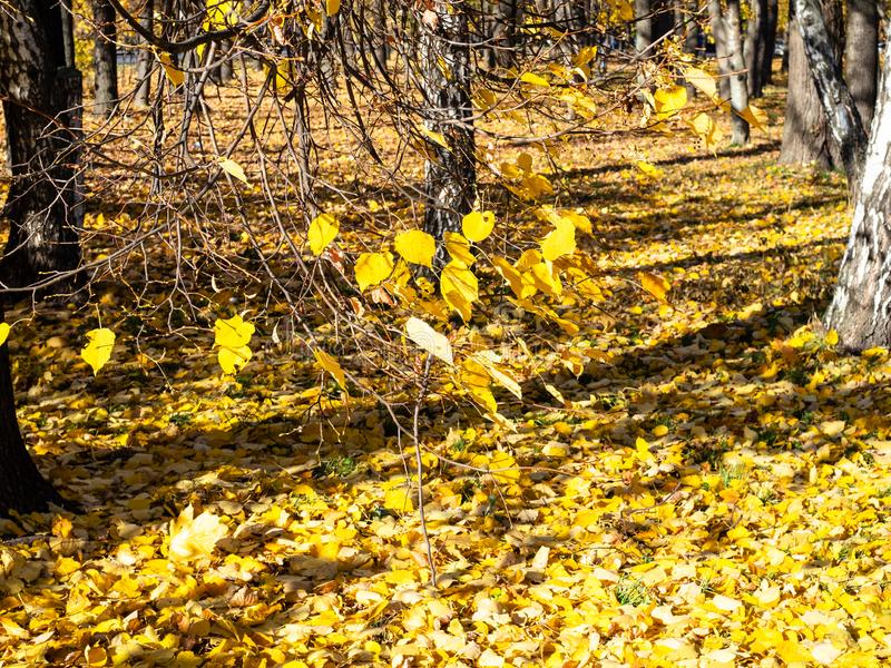 Yellow fallen leaves cover an alley in garden. Yellow fallen leaves cover an alley in Petrovsky park of Moscow city in sunny autumn day royalty free stock photo