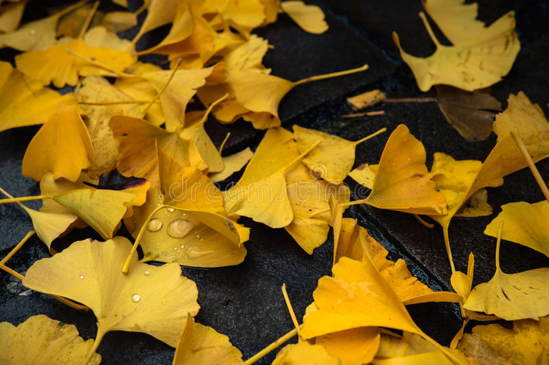 Yellow fallen leaves on the pavement. Belgium royalty free stock photos