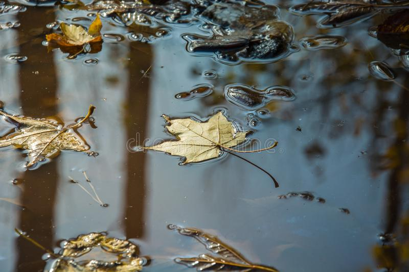 Maple leaves in water. Yellow fallen maple leaves in the water - autumn view royalty free stock images